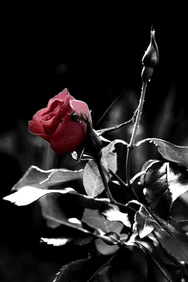 I will love you for the rest of my life.  Hayatımın geri kalanında seni seveceğim.   #photography #blackandwhite #colorsplash #emotions #red #redrose #macro   Good morning all pa family. Have a good day😊😙
