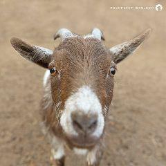 goat pygmygoat livestock