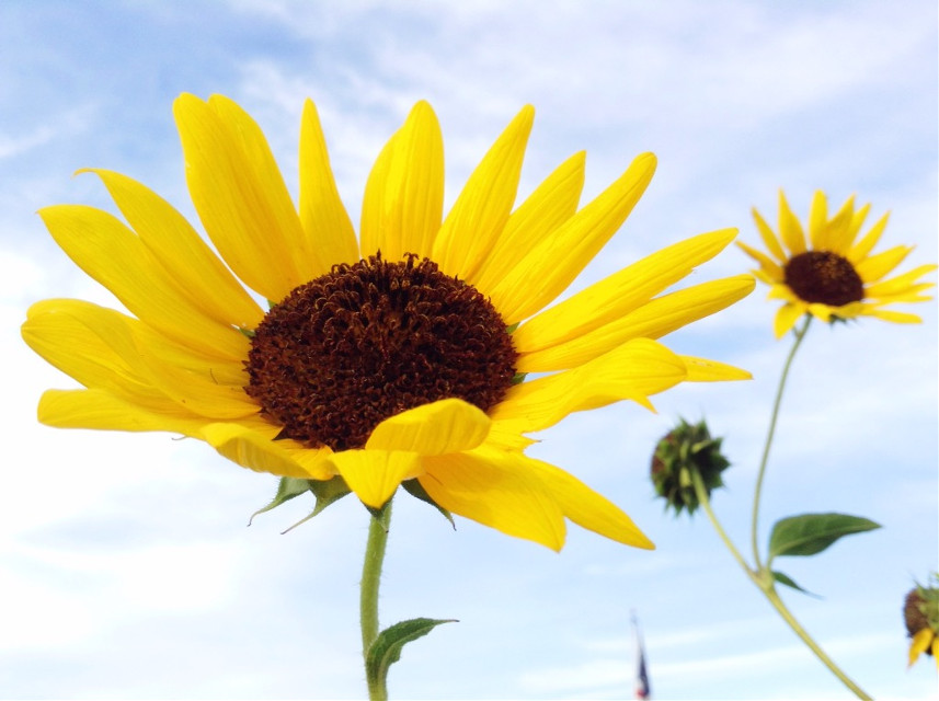 #summer #sunflowers #beautiful #photography #picsart