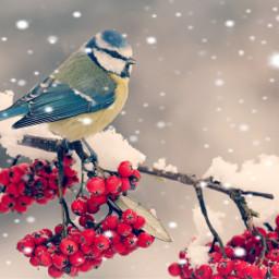 drawsnow bird berries winter snowmask