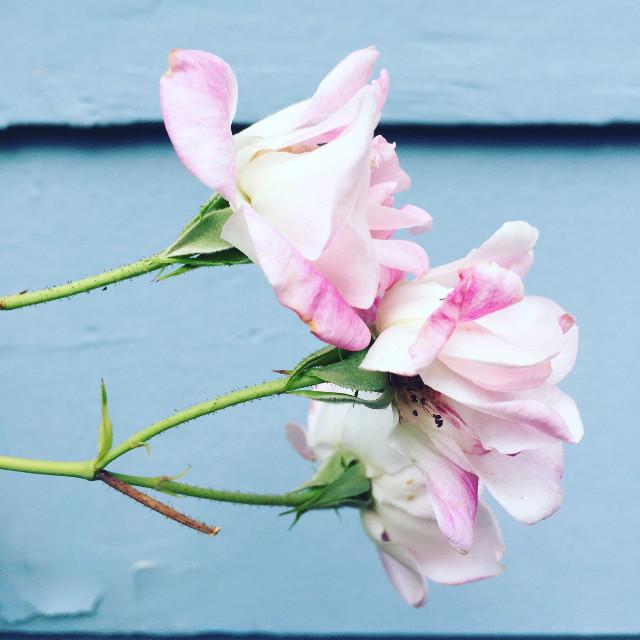 #flowers #flower #pretty