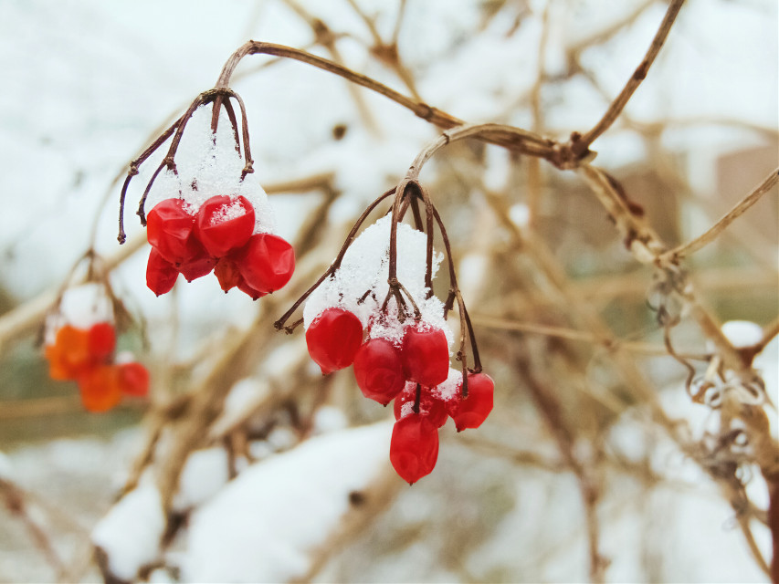[*F] Cheerful #freetoedit #photography #winter #nature #snow #plant #cover #berries #red #drama #cheerful