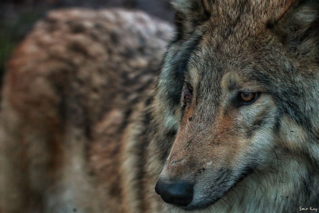 #wolf #photography #nature #petsandanimals  #animals #zoo