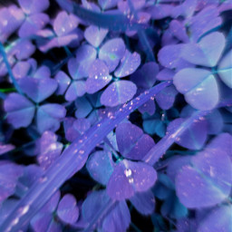 clovers purple zoomblureffect