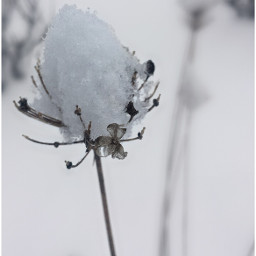 winter snow driedflower