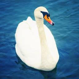swan water blue white