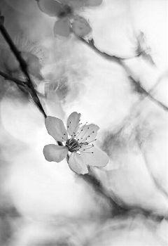 blackandwhite flower nature photography spring