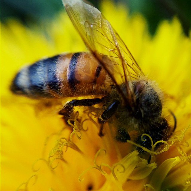 I use to break out my sand wedge and practice my chop shot on dandelions every #Spring then I learned that they are essential to the early survival of various bee species so I have up on that.  #photography #nature #flower #colorful #season #macro #bee #yellow