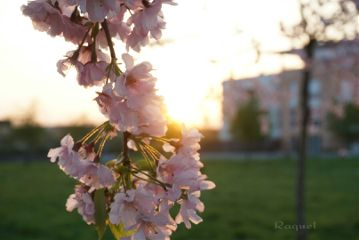 cherryblossoms spring photography flower nature