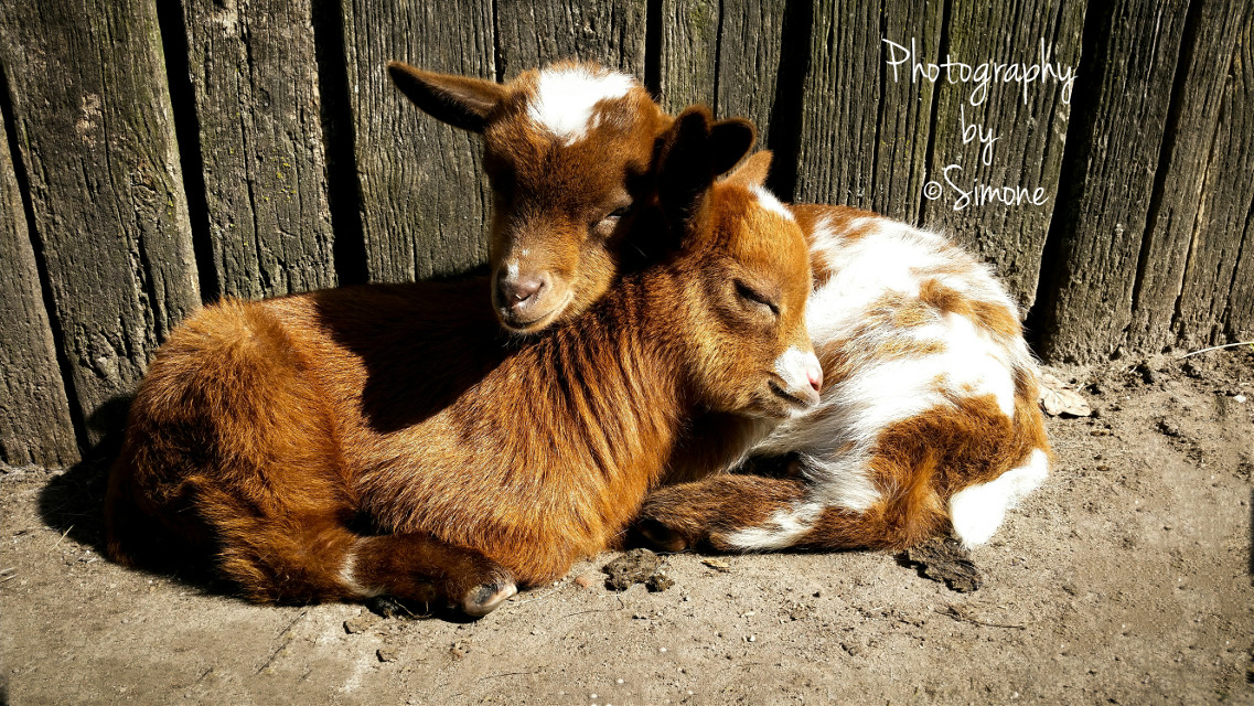 #colorful #emotions #nature #petsandanimals #spring #edited #nofilter #outdoors #beautiful #light #pure #hiking #baby #goats #animals #photography #phone #samsung #springtime #love #hdr #phonephotography
