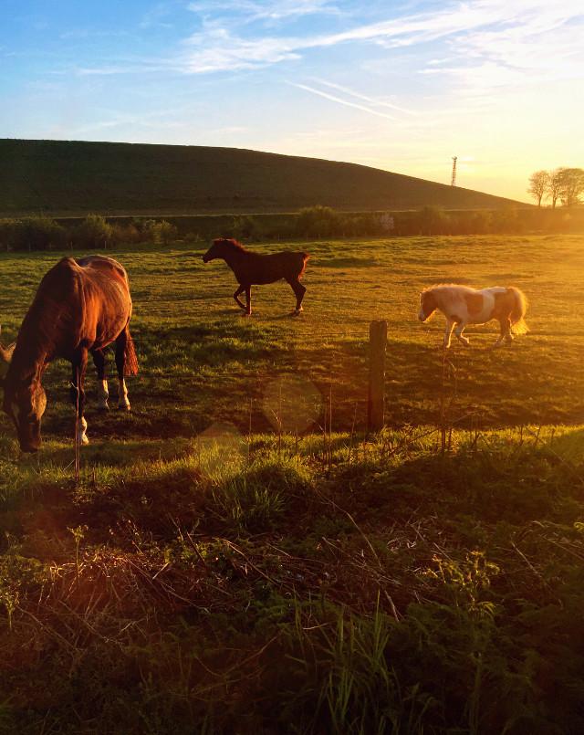 #lensflare #lensflares #landscape #nature #sunset #horses #pets&animals #photography #iphone