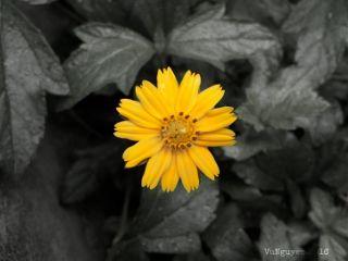 flower halfofcolor blackandwhite summer nature