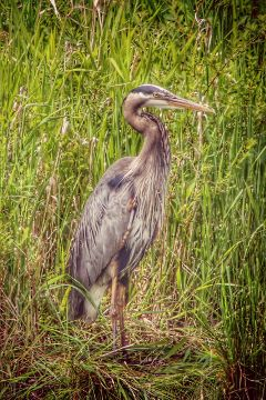 photography heron birds wildlife nature