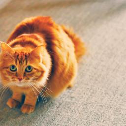 dpcorange cat kitty kittykat meow littlefireball orangecat cute FreeToEdit