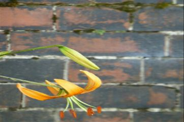 photography orange flower lily brick